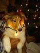 Small #14 Shetland Sheepdog