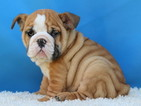 Bulldog Puppy For Sale in DALLAS, TX