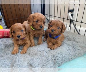 Cavapoo Puppy for sale in NORTHFIELD, NJ, USA