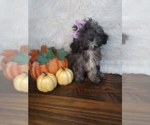 Shih-Poo Puppy for sale in INDIANAPOLIS, IN, USA