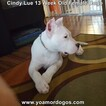 Small Photo #182 Dogo Argentino Puppy For Sale in PINEVILLE, MO, USA