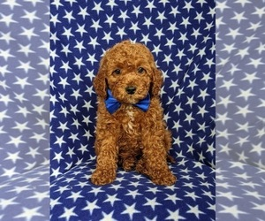 Cocker Spaniel-Poodle (Miniature) Mix Puppy for sale in NEW PROVIDENCE, PA, USA