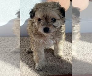 Maltipoo Puppy for Sale in SAN JOSE, California USA
