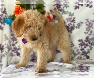 Labradoodle Puppy for sale in LANCASTER, PA, USA