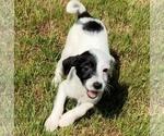 Puppy 3 Jack-A-Poo