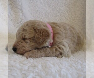 Goldendoodle-Poodle (Miniature) Mix Puppy for sale in SOMERSET, OH, USA
