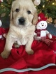 Goldendoodle Puppy For Sale in BRISTOL, Indiana,