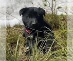 Puppy 6 Karelian Bear Dog