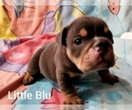 Small #14 English Bulldog