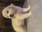 Golden Retriever Puppy For Sale in SHELBY, NC,