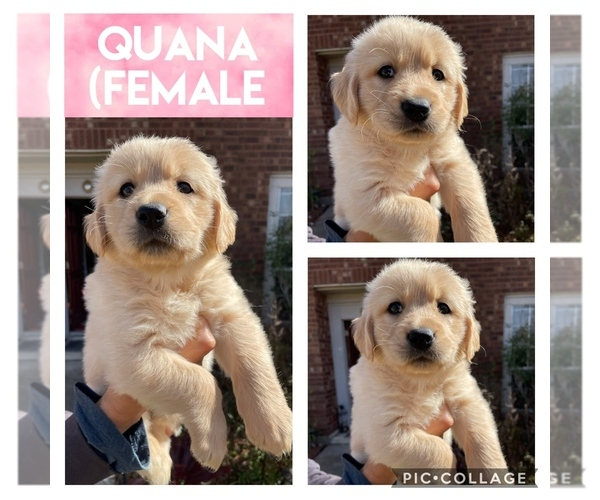 Medium Photo #1 Golden Retriever Puppy For Sale in MISSOURI CITY, TX, USA