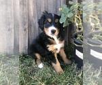 Puppy 1 Miniature Bernedoodle