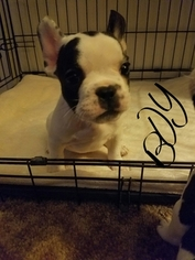 French Bulldog Puppy For Sale in LEMON GROVE, CA
