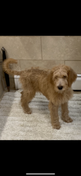 Poodle (Standard)-Spinone Italiano Mix puppy