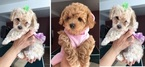 Poodle (Miniature) Puppy For Sale in THORNTON, Colorado,