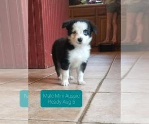 Miniature Australian Shepherd Puppy for sale in MILTON, WI, USA