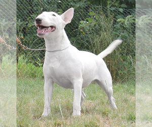 Bull Terrier Dog for Adoption in BROOKLYN, New York USA
