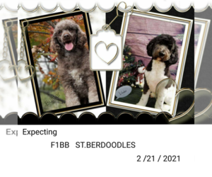 Poodle (Standard)-Saint Berdoodle Mix Puppy for sale in MILLVILLE, MN, USA