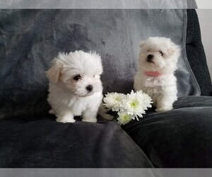 Maltese Puppy for sale in Vancouver, British Columbia, Canada