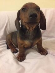 Dachshund Puppy For Sale in BROOKLYN, NY, USA