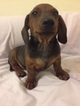 Dachshund Puppy For Sale in BROOKLYN, NY, USA