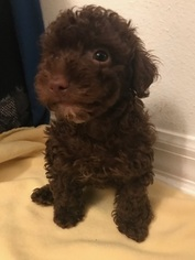 Poodle (Toy) Puppy For Sale in MELBOURNE, FL, USA