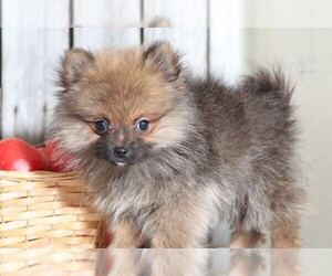 Pomeranian Puppy for sale in MOUNT VERNON, OH, USA