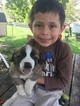 Saint Bernard Puppy For Sale in DAYTON, OH,