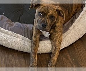 Boxer Puppy for sale in ROYSE CITY, TX, USA