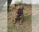 Small Photo #8 Belgian Malinois Puppy For Sale in WAYCROSS, GA, USA