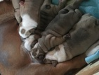 Bulldog Puppy For Sale in RUSSELLVILLE, MO