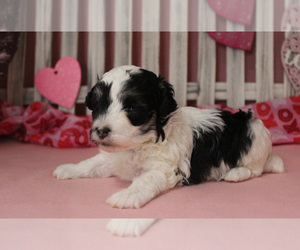 Maltipoo Puppy for Sale in CHANUTE, Kansas USA