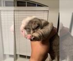 Puppy 2 Bulldog