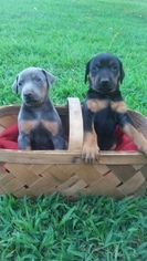 Doberman Pinscher Puppy For Sale in MOUNT AIRY, NC, USA