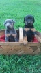 Doberman Pinscher Puppy For Sale in MOUNT AIRY, NC,