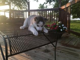 Siberian Husky Puppy For Sale in TARKIO, MO, USA