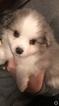 Australian Shepherd Puppy For Sale in MONROE, WI, USA