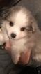 Australian Shepherd Puppy For Sale in MONROE, Wisconsin,