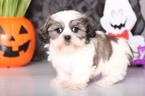 Coton Tzu Puppy For Sale in MOUNT VERNON, OH, USA