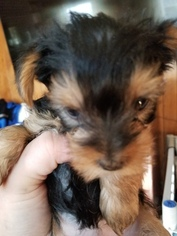 Yorkshire Terrier Puppy For Sale in CHARLOTTESVILLE, VA, USA