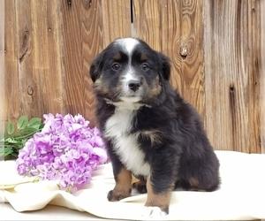 Miniature Australian Shepherd Puppy for Sale in SUGARCREEK, Ohio USA