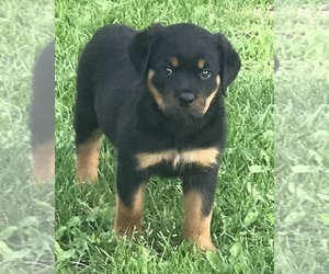Rottweiler Puppy for sale in REMER, MN, USA