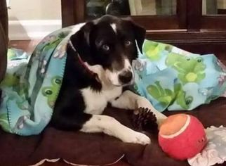 Border Collie Mix For Adoption Nashville TN