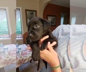 Labrador Retriever Puppy for Sale in BARRINGTON, Illinois USA