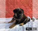 Puppy 1 German Shepherd Dog