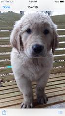 Golden Retriever Puppy For Sale in SESSER, IL, USA