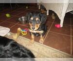 Puppy 2 English Shepherd
