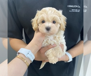 Maltipoo Puppy for Sale in REDLANDS, California USA