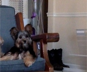 Yorkshire Terrier Puppy for Sale in ISHPEMING, Michigan USA