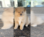 Pomeranian Puppy For Sale in AUSTIN, TX, USA